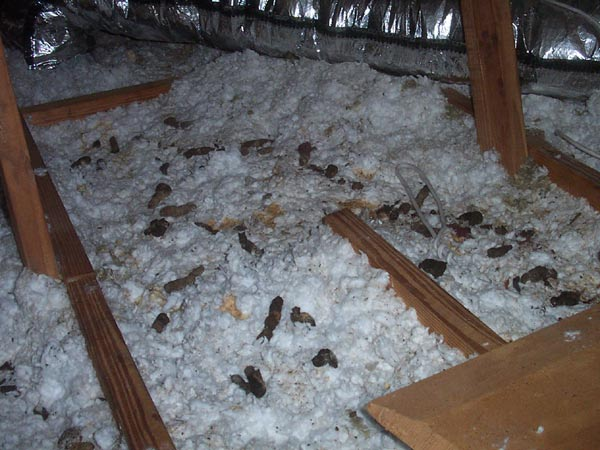 Hereu0027s an even worse attic from an even worse-smelling house. How could the residents let it go on this long without having the problem taken care of? & Attic Contamination From Opossums and Possum Poop