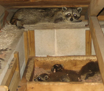 How To Get Animals Out Of The Attic