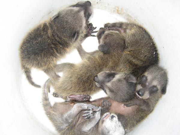 Get Baby Raccoons Out Of The Wall Or Ceiling