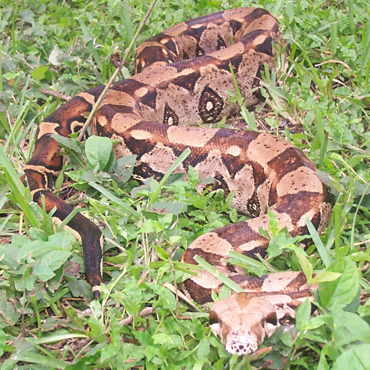 constrictor snakes in south florida According to the south florida water management district, about 99 percent of  the  the snake caught on video, is worth about $150 dollars.