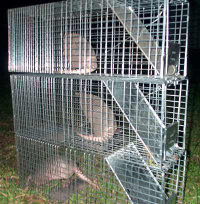 How To Trap An Armadillo Trapping