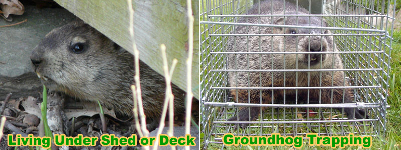 How To Trap A Groundhog Under The Shed Or Deck