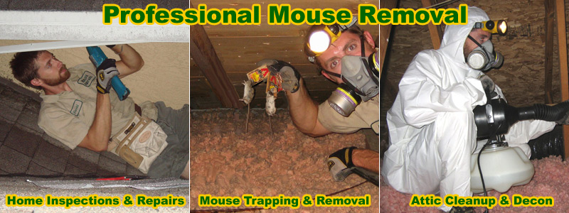 How To Kill Mice In The House Attic Or Walls
