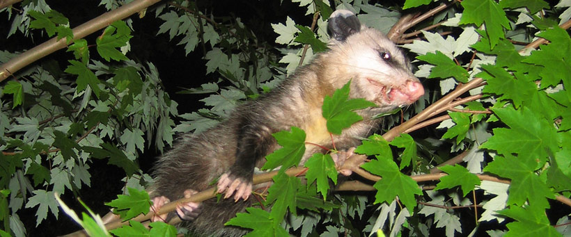 How To Keep Opossums Out Of My Garden