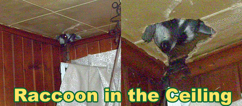 Raccoon In The Ceiling - How to Get Raccoons out of the Ceiling on raccoon in bedroom, raccoon in bed, raccoon in kitchen, raccoon in attic, raccoon in garage, raccoon in paint, raccoon in space, raccoon in room, raccoon in box, raccoon in office, raccoon in sink, raccoon in building, raccoon in water, raccoon in bathroom, raccoon in log, raccoon home, raccoon in bath, raccoon in wall, raccoon in the floor, raccoon in chair,