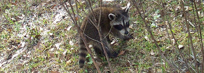 Do Raccoons Burrow Or Dig Holes