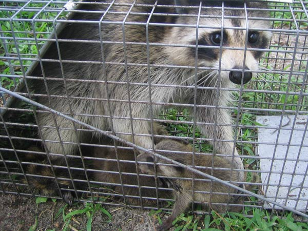 how to get rid of raccoons in the walls