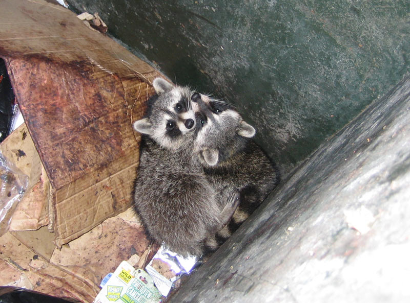 How To Get Raccoons Out Of The Dumpster And Keep Them Out