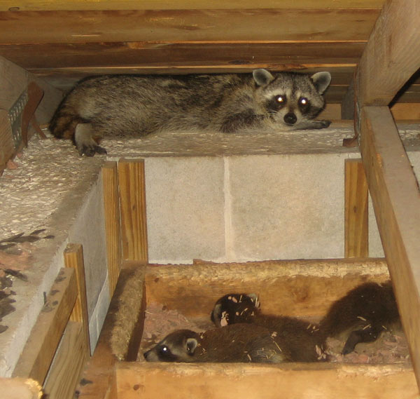 How To Get A Raccoon Out Of An Attic