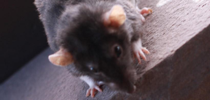 Do Rats Bite Sleeping Babies