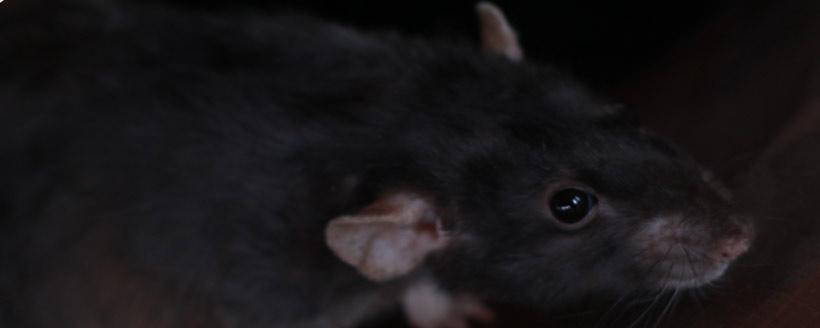 Do rats jump?