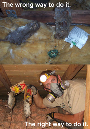 Rat Extermination In Orlando Exterminators Of Rats