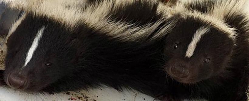 Do Mothballs Or Ammonia Help Repel Skunks