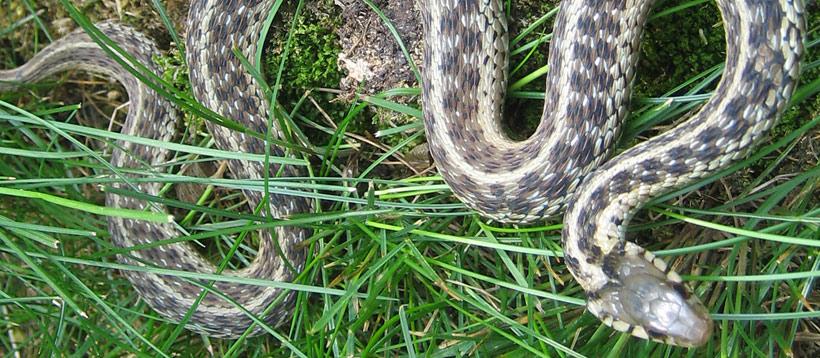 Common Snakes of Pennsylvania