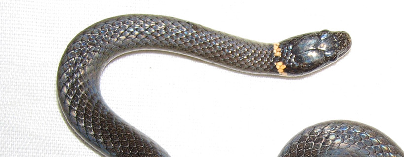 Common Snakes of Florida