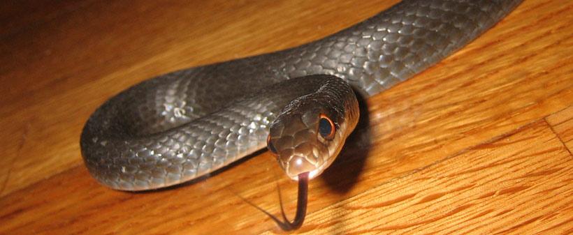 Common Snakes of North Carolina