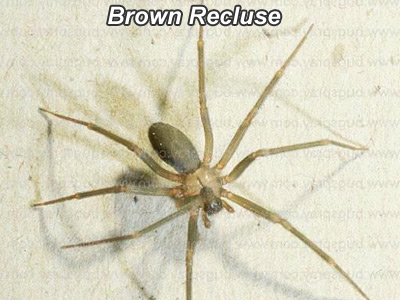 Range Of The Brown Recluse Spider