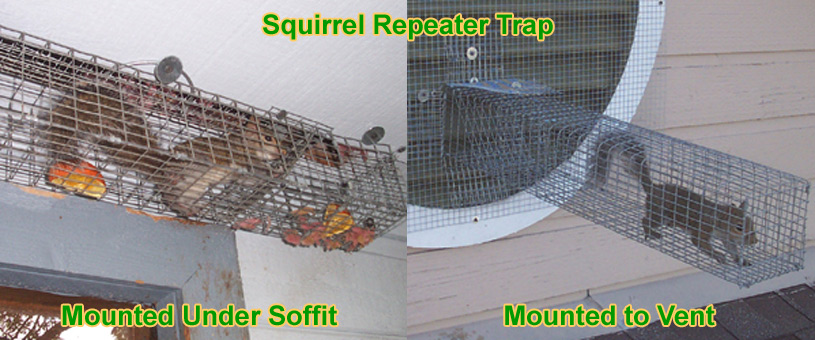 How To Trap A Squirrel Trapping Tips Bait
