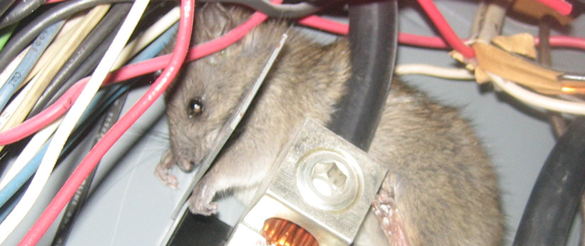 What Animals Chew On Electric Wires