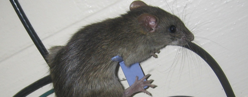 What are the risks of animals chewing on electric wires?