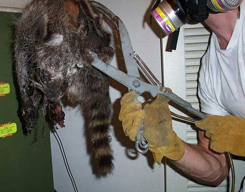 Removal Of Dead Animal In Wall Attic House Get Rid Of It