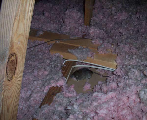 A Dead Rat In The Attic