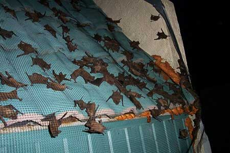 It Didn T Take Long Until Hundreds Of Bats Began To Emerge From Under The Tiles No Were Injured Or Killed In Eviction Process