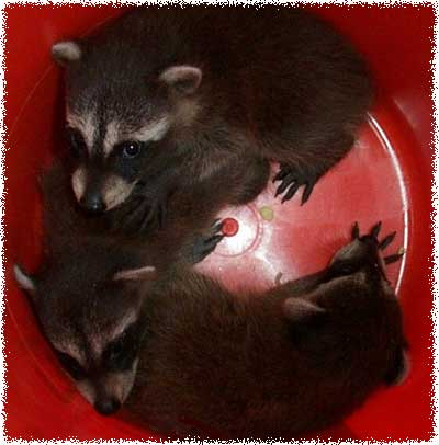 How To Get Rid Of Baby Raccoons In The Attic