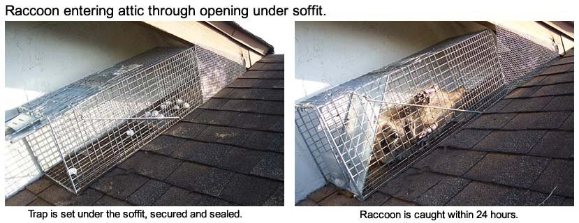 How To Trap Raccoons On The Roof Of A House