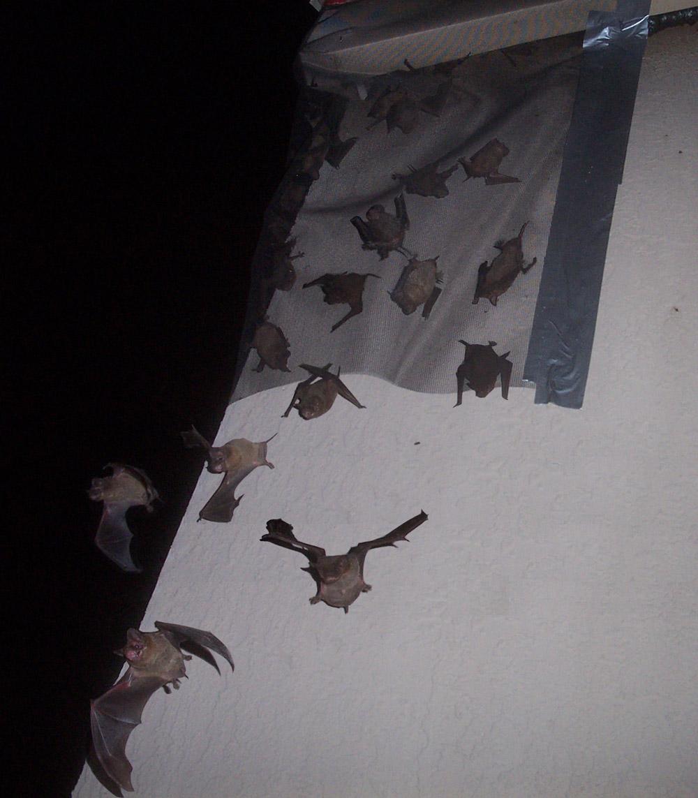 Solve A Bat Problem How To Kill Bats