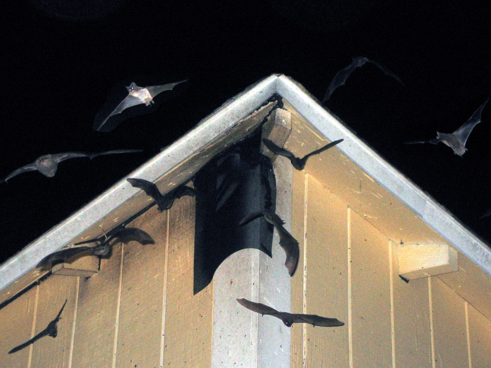 Tampa Bat Control Removal Of Bats In Clearwater Saint