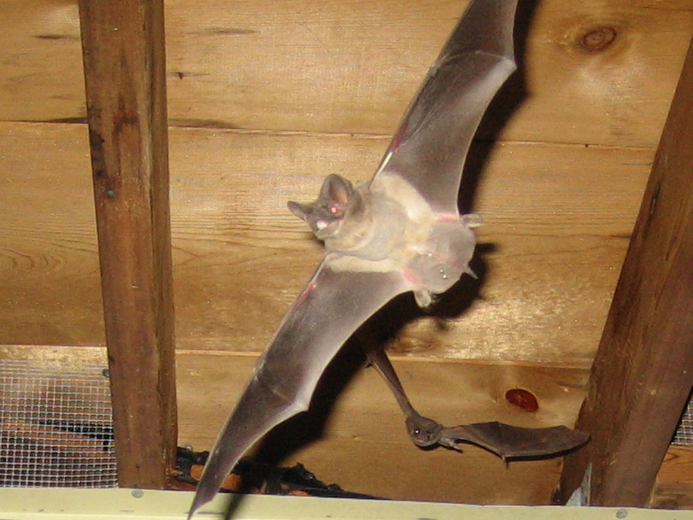 bats attic how to get bats out of the attic