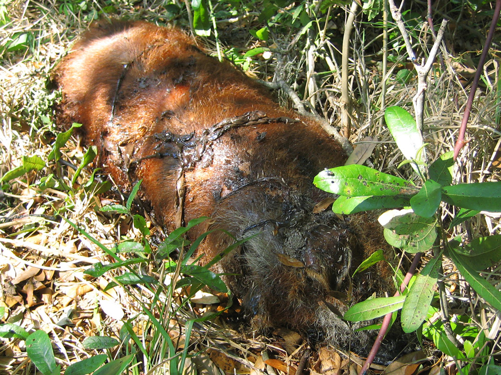 Wild Backyard Animals :  Animal Photograph  I removed this dead wild boar from someones yard