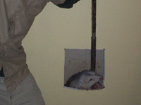 How to Get Rid of Opossums in a House, Attic, or Shed