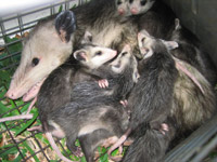 Opossum Photos Gallery Of Pictures Amp Images