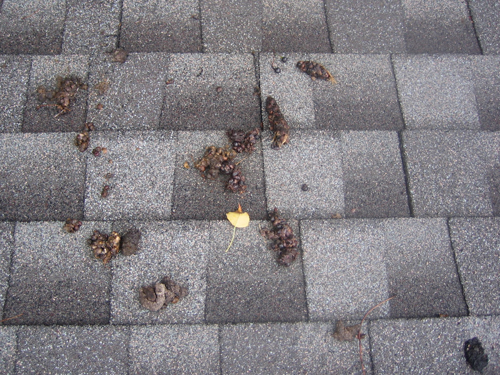 Raccoon Poop Photos http://www.247wildlife.com/photos/poop019.html