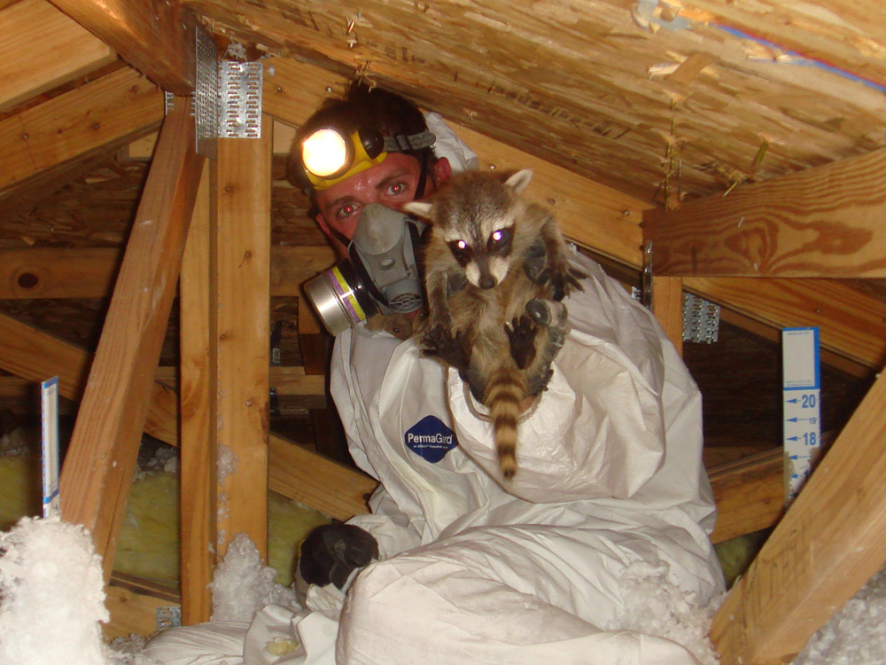 Raccoon Photograph Removing Little Raccoons Inside An Attic