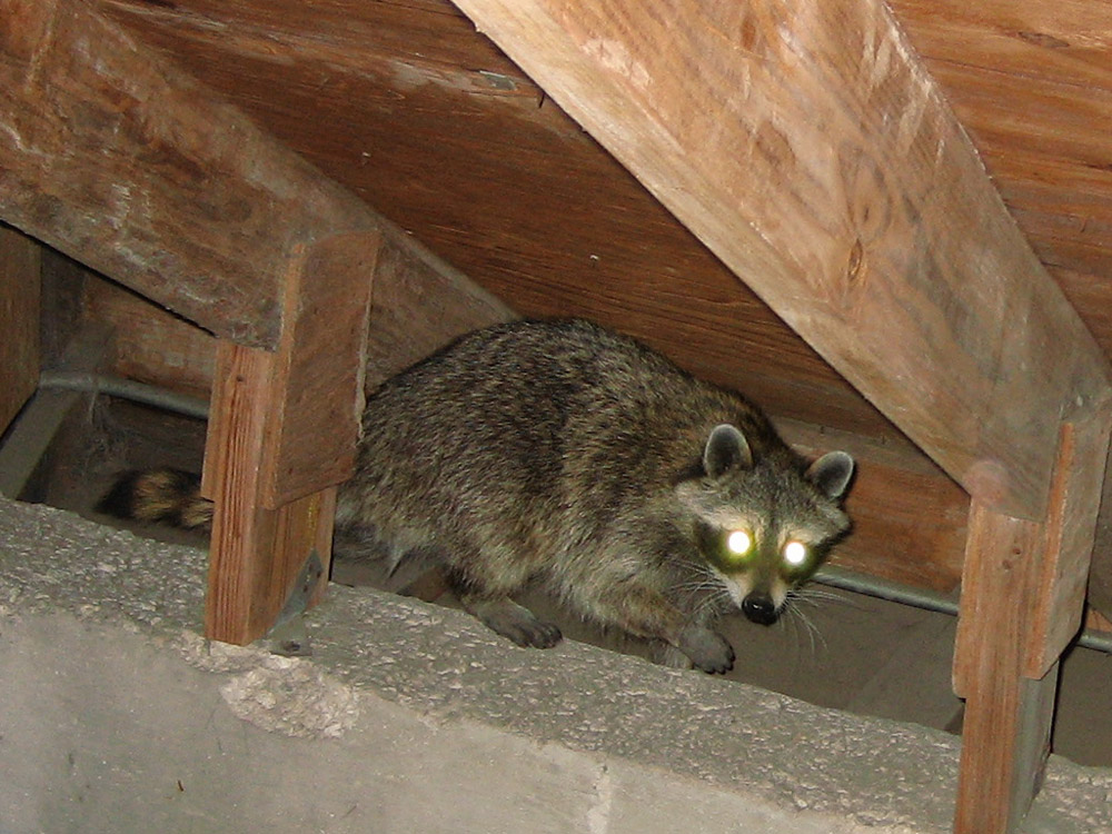 Raccoon Photograph A Photo Of A Raccoon In An Attic