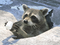 Raccoon Photos Gallery Of Pictures Amp Images