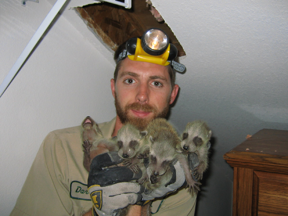 Raccoon in the ceiling how to get raccoons out of the ceiling a raccoon that tore a hole at the ceiling solutioingenieria Choice Image