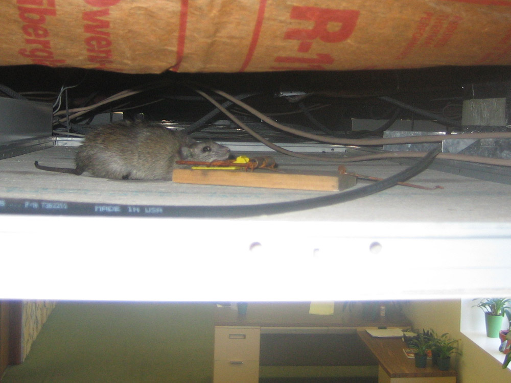 Rats In The Ceiling How To Get Rodents Out Of The Ceiling