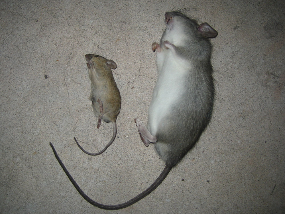 What do house mice look like