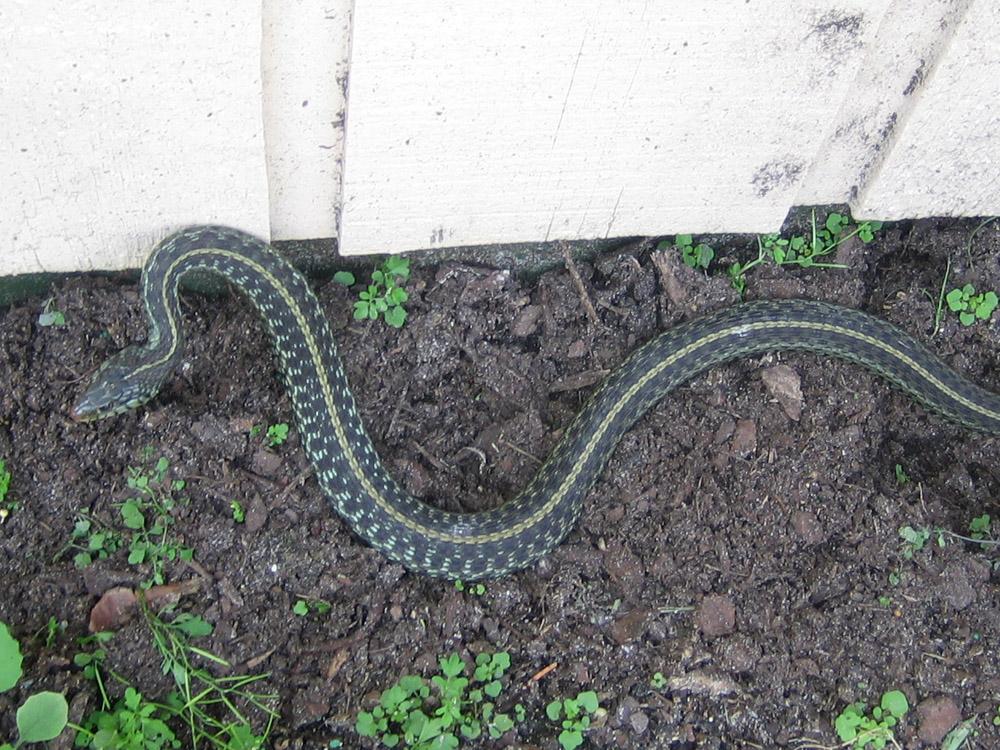Florida Snake Photograph - Blue Phase Garter Snake