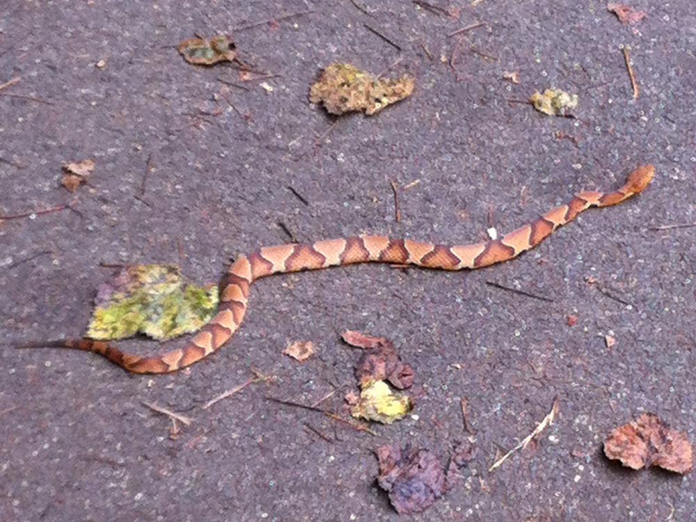 Florida Snake Photograph A Baby Copperhead Crossing The Street