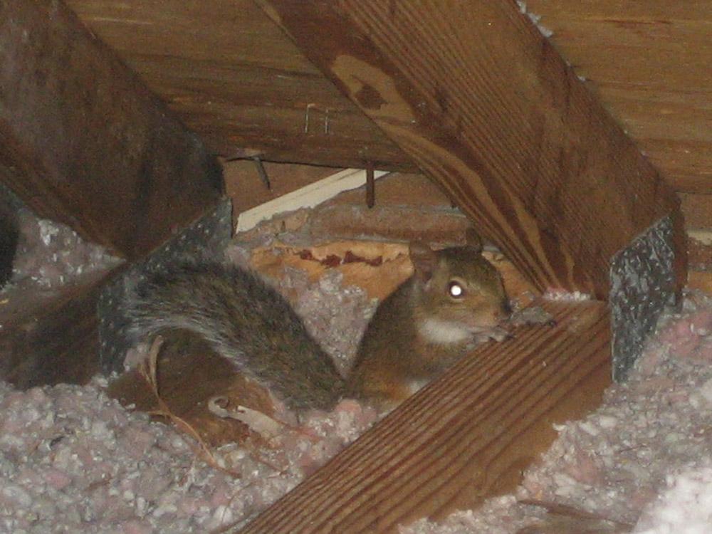 Squirrel Photograph Squirrels Love To Live In Attics