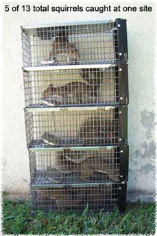 Squirrel Control and Squirrel Removal in House