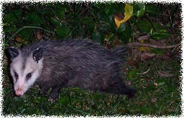 Orlando Florida Opossum Opossums Possum Possums Removal