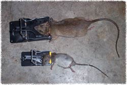 Rat Control Amp Removal How To Get Rid Of Rats In The House